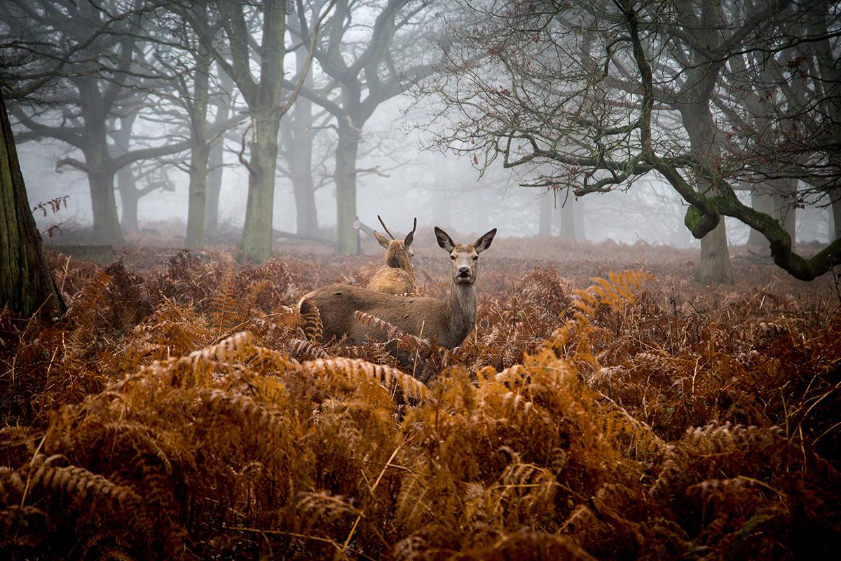 deer at Richmond Park